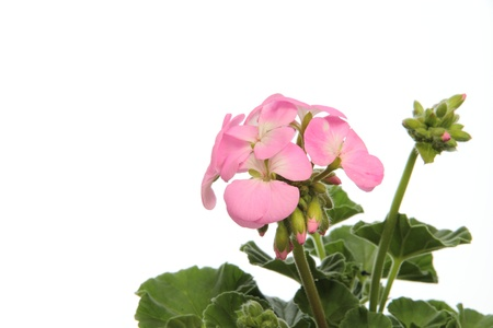 Potted plant of the pink geranium photo