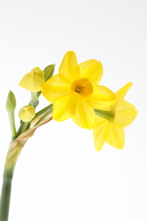 progenitor: Yellow narcissus_Grand Soleild Or Stock Photo