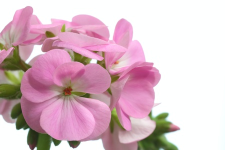 Flower of the geranium that a pink petal is beautiful photo