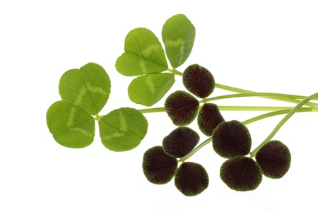Two kinds of clovers of the white background Stock Photo - 18465956