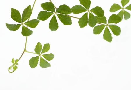 Background of the creeper of five pieces of leaves