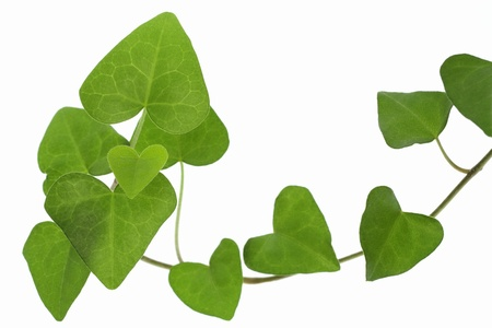 Background of the leaf of the heart-shaped ivy