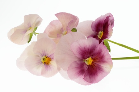 Flower arrangement of the pansy of pink and the purplish red Stock Photo - 18594989