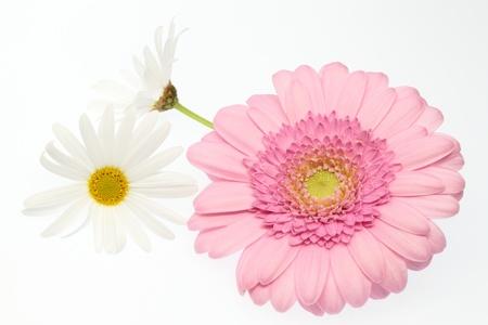 barberton daisy: pink Barberton daisy and white marguerite Stock Photo
