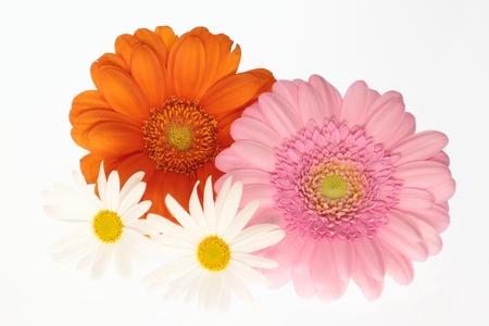 barberton daisy: Barberton daisy and marguerite