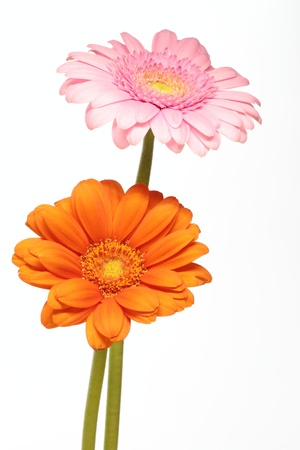barberton daisy: The orange of the white background and pink Barberton daisy of the white background