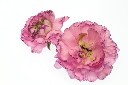 Purplish red ranunculus of the white background  Stock Photo