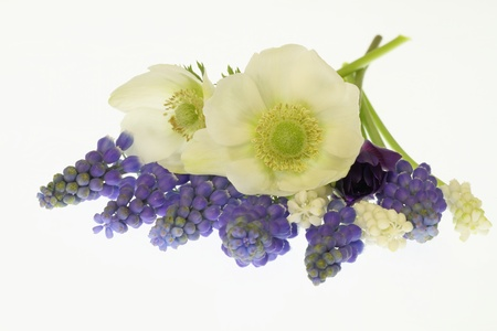 An anemone and grape hyacinth of the white background