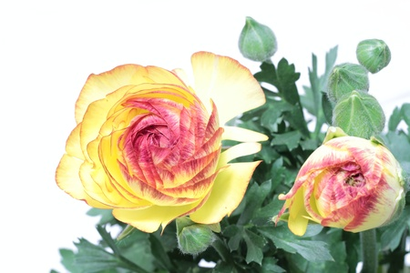 Ranunculus of the petal of the hemming red in yellow Stock Photo - 18856424