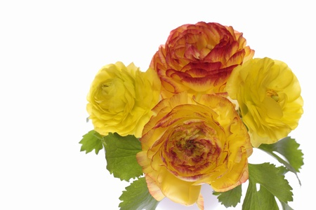 Yellow and orange and red ranunculus photo