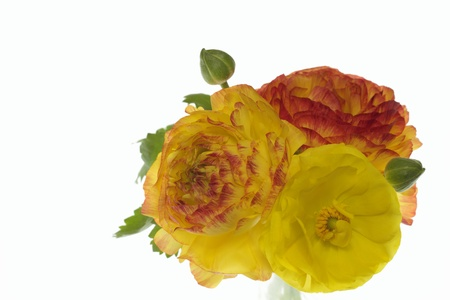 Yellow and orange and red ranunculus Stock Photo - 18857082