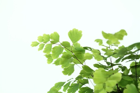 nicety: Leaf of a green maidenhair Stock Photo