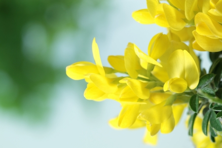 Flower of the yellow genista photo