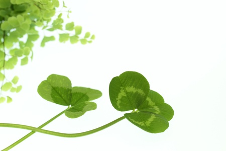 dutch clover: Green leaf of the ecology image