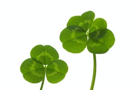 dutch clover:  Three-leaf and four-leaf clover Stock Photo