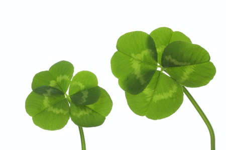 Four Leaf Clover Of The Good Luck Stock Photo