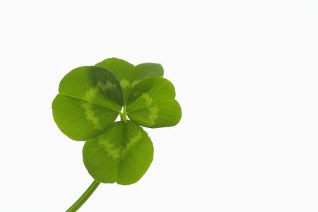 dutch clover: Four-leaf clover of the good luck