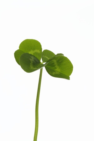 dutch clover: Clover of the four leaves of the image of the growth