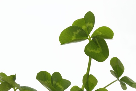 dutch clover: Clover of four leaves of the early summer
