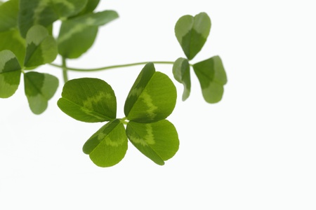 dutch clover: Clover of green four leaves of the early summer