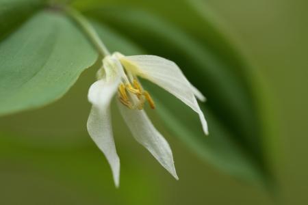 progenitor: Wild Disporum smilacinum Stock Photo