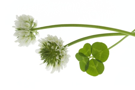 flower and four leaves of the clover photo