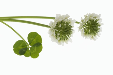 dutch clover: flower and four leaves of the clover