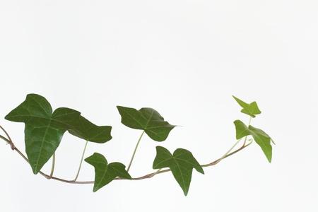 liana: Green liana
