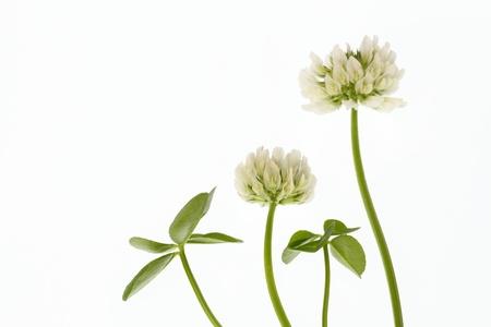fourleaf: Flower of the four-leaf clover