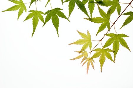Japanese maple of the early summer photo