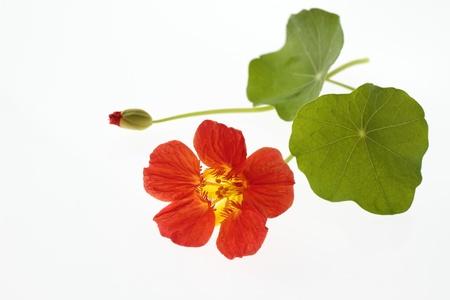 flower and leaf of the nasturtium