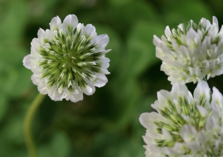 leguminosae: Flower of the clover of the field Stock Photo