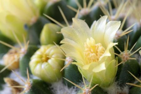 fleshy: Yellow flower of the fleshy plant
