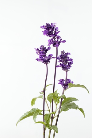 Flower of the blue sage