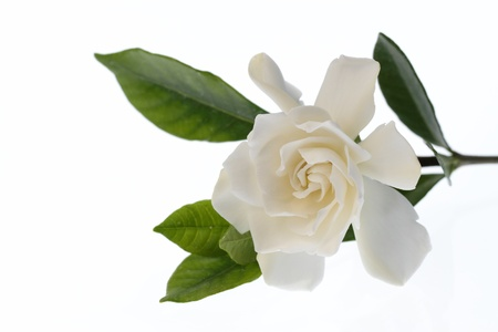 Gardenia del florecer en el doble photo