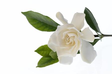 gardenia: Gardenia of the blooming in double