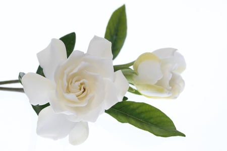 Gardenia of the blooming in double photo