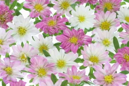 Background of a pretty pink China aster