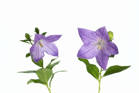 Beautiful bellflower of the bluish violet