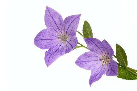 Mooi klokje van de blauwige viooltje