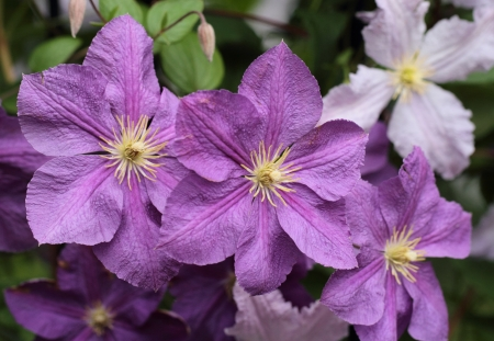 Victoria  of the clematis Stock Photo