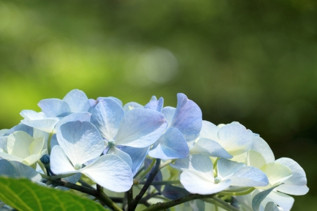 Hydrangea in the sunlight of the early summer