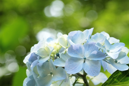 early summer: Hydrangea in the sunlight of the early summer