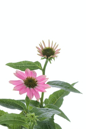 flower and bud of Echinacea