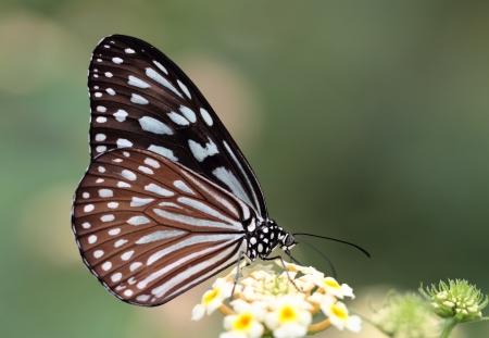 可愛い蝶々 セイロン ブルー ガラス虎 写真素材