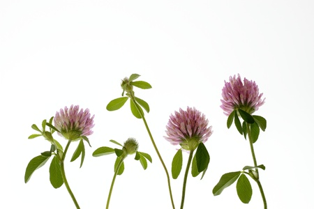 Pretty Trifolium pratense Stock Photo - 21045090