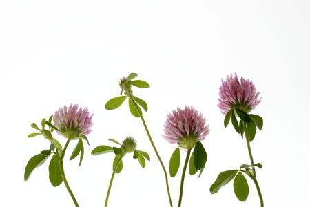 Pretty Trifolium pratense Stock Photo - 21045090