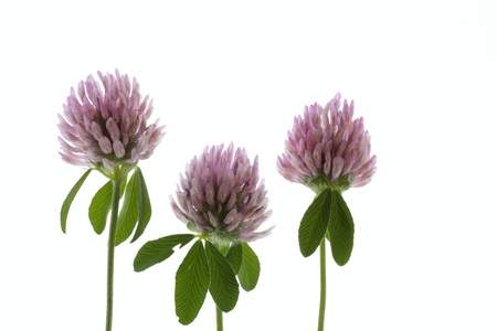 dutch clover: Pretty Trifolium pratense