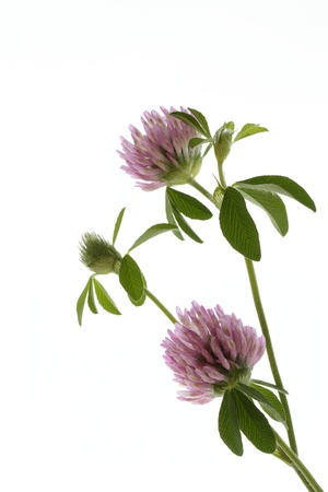 Pretty Trifolium pratense Stock Photo - 21045093