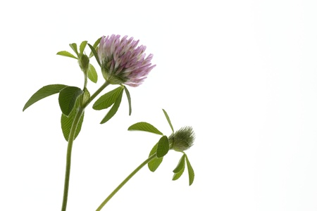 trifolium: Pretty Trifolium pratense